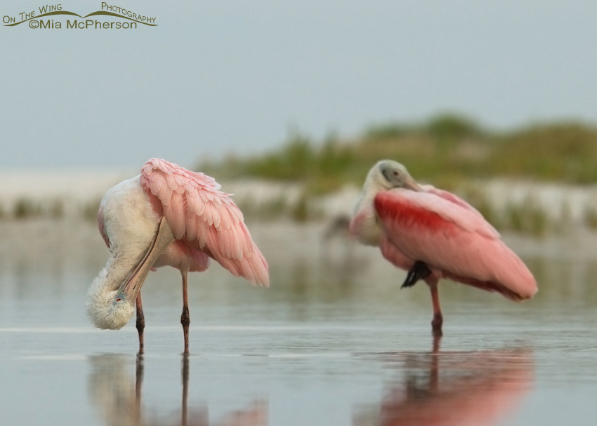 Roseate Spoonbills in a sea fog