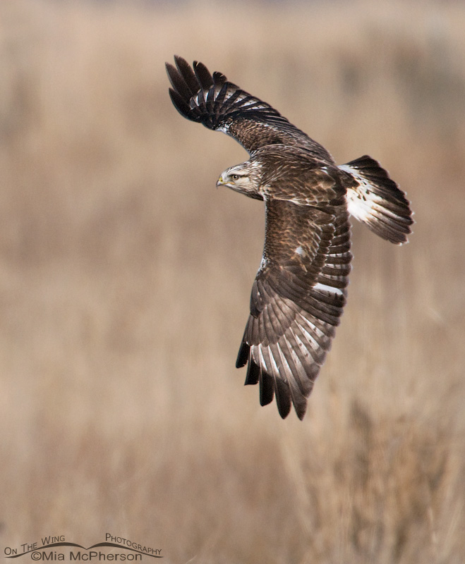 Dorsal view of a Rough-legged Hawk in flight