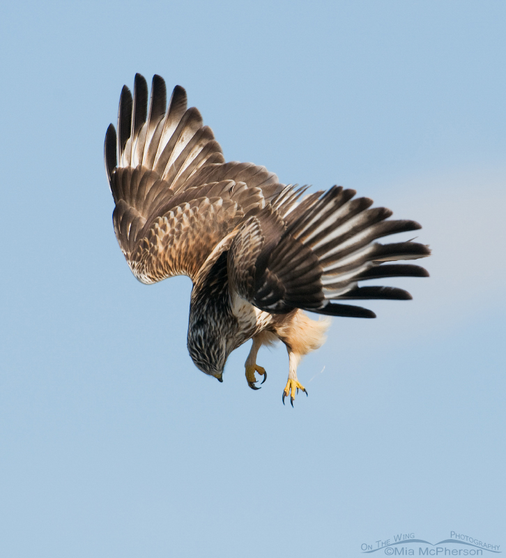 Rough-legged Hawk after dropping the Vole