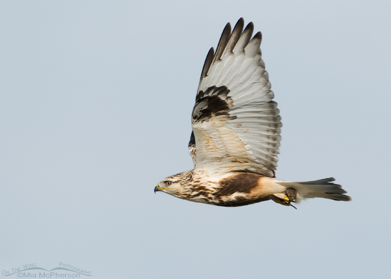 Banking Rough-legged Hawk with the Vole
