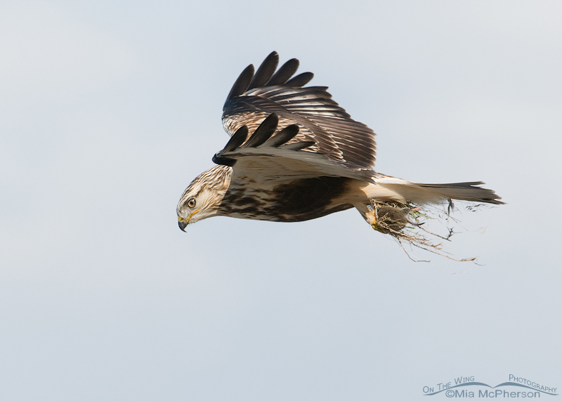 Rough-legged Hawk hovering with the Vole