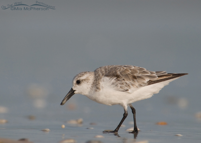Sanderling in nonbreeding plumage