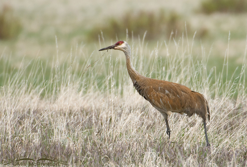 Sandhill Crane at Red RocK Lakes National Wildlife Refuge