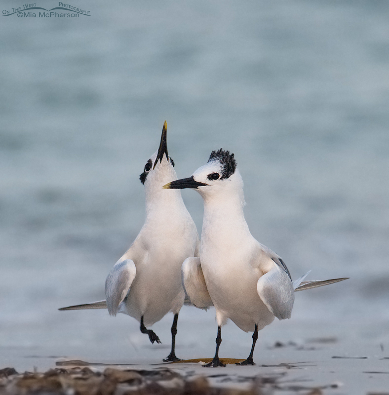 Courting Sandwich Terns in low light