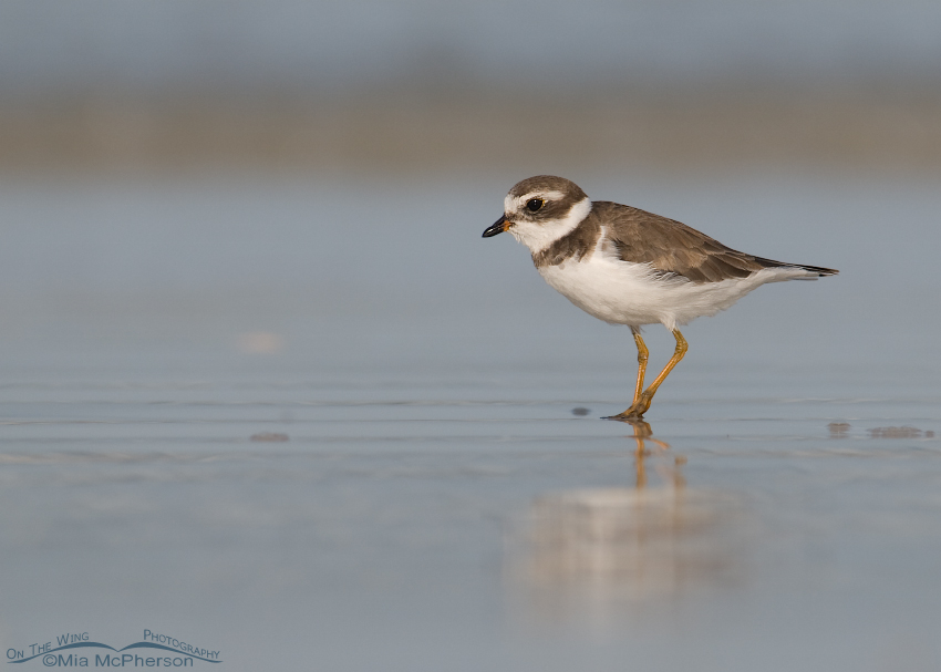 Semipalmated Plover on the shore of the Gulf of Mexico