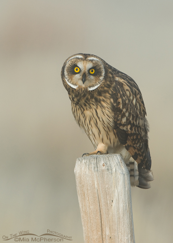 Female Short-eared Owl at Red Rock Lakes NWR, Montana