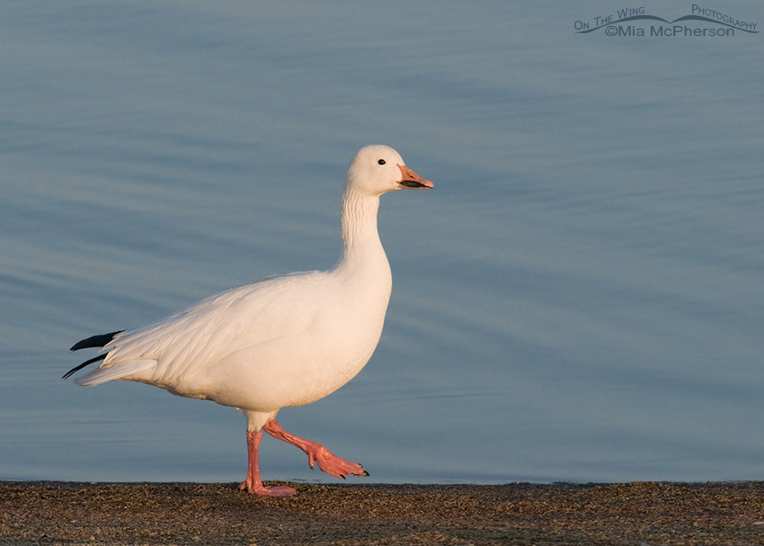 Adult Snow Goose