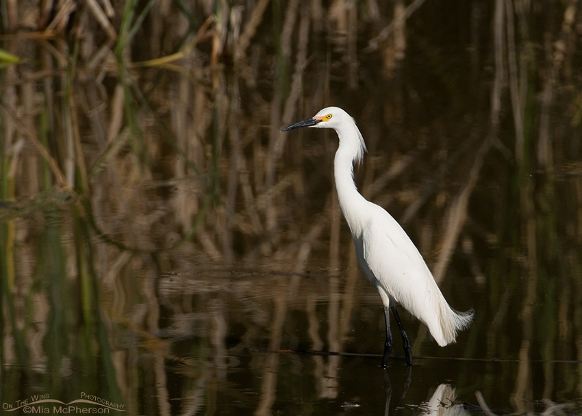 Snowy Egret in a drainage canal