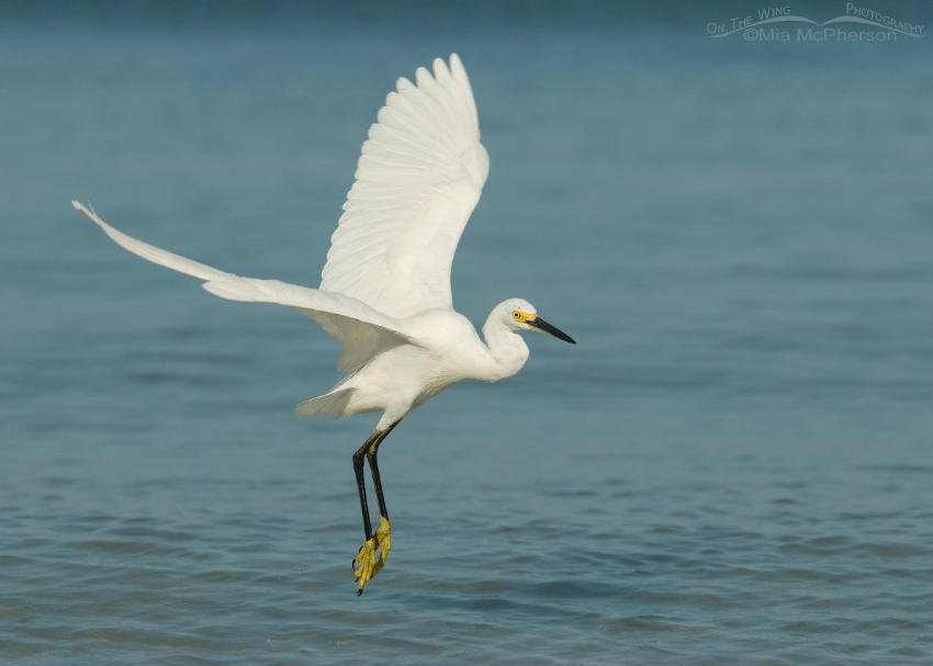 Snowy Egret about to land