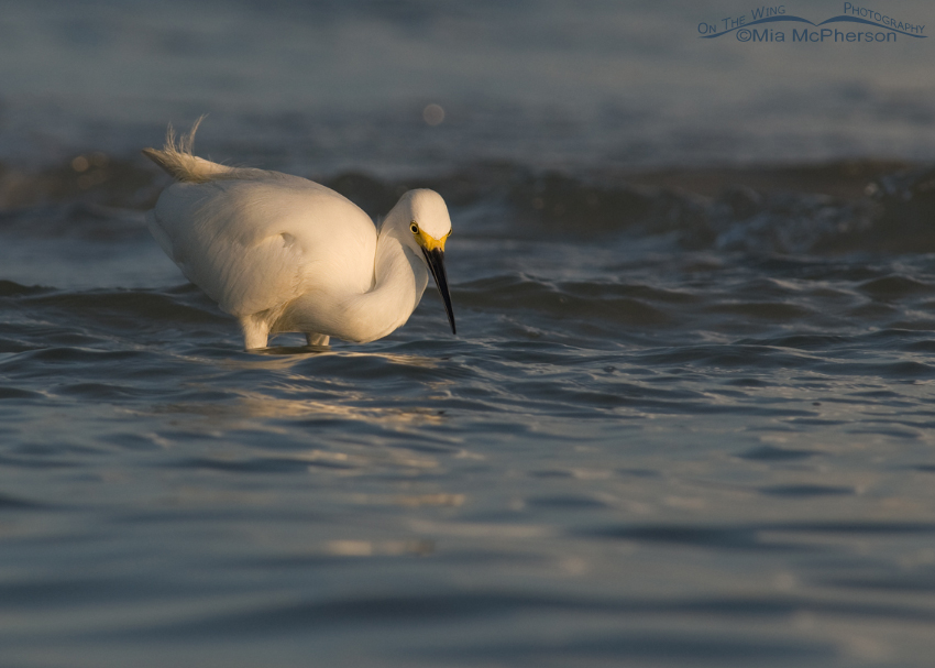 Snowy Egret hunting in early morning light