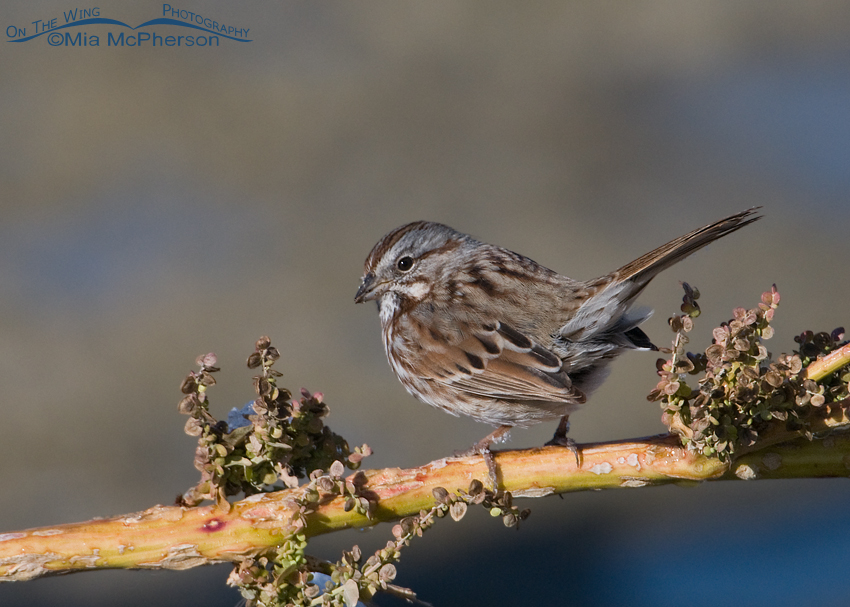Song Sparrow perched on Curly dock