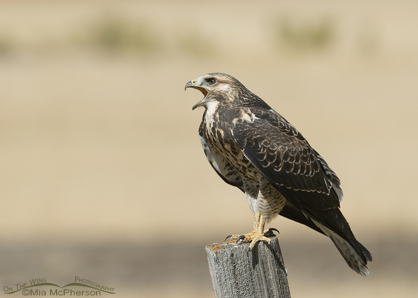 Calling juvenile Swainson's Hawk, Red Rock Lakes NWR, Montana