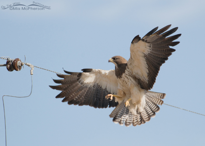 Swainson's Hawk about to land