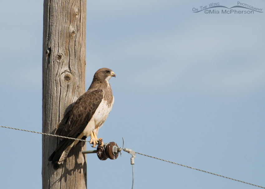 Perched Swainson's Hawk adult