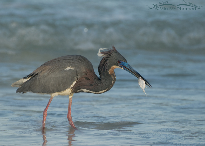 Tricolored Heron in breeding plumage with prey