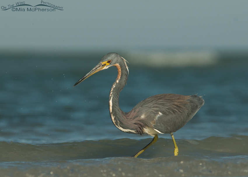 Hunting Tricolored Heron