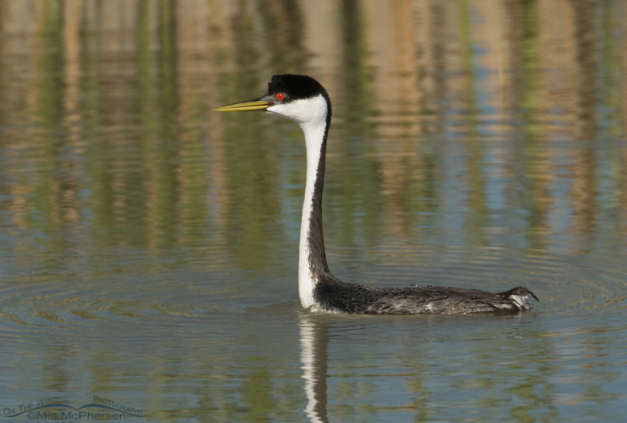 Western Grebe with its eye on another Grebe