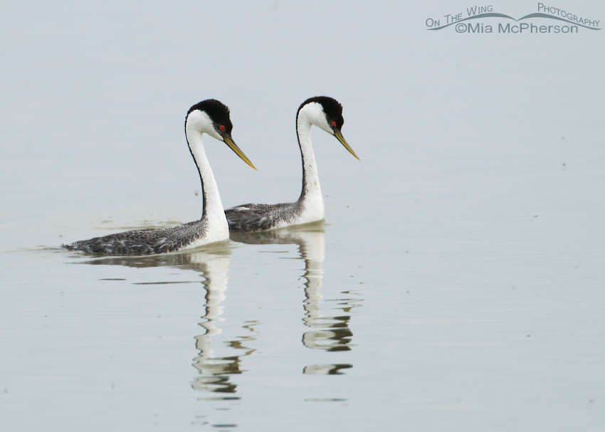 Western Grebes courting in early spring