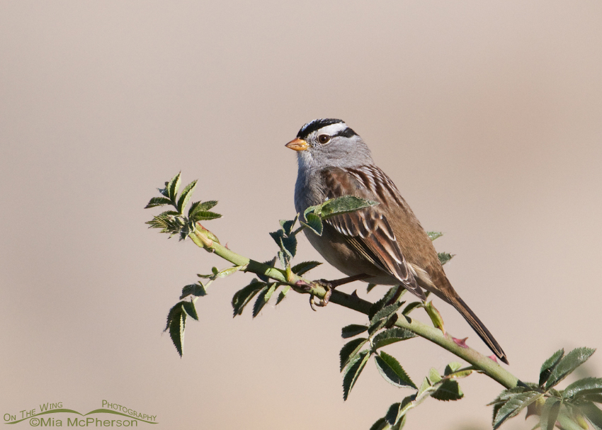 Adult White-crowned Sparrow on a wild Rose