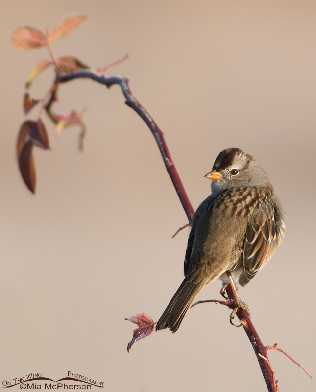Juvenile White-crowned Sparrow on a wild Rose