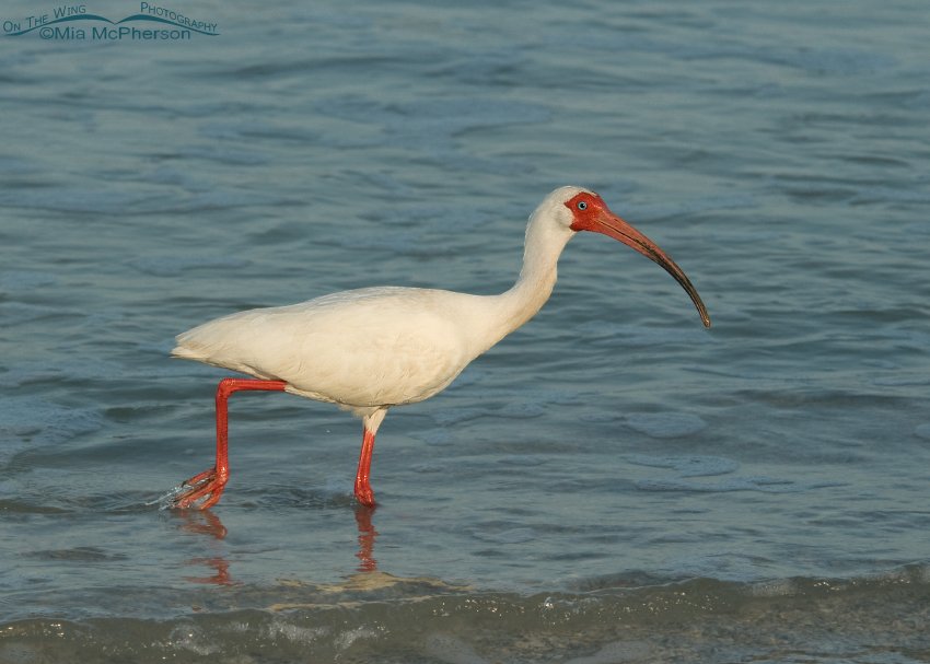 White Ibis adult in breeding plumage