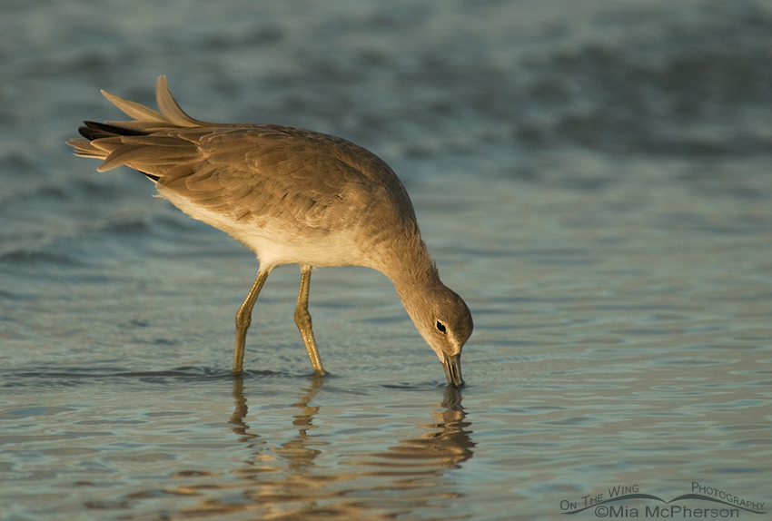 Calm Willet on a not so calm day