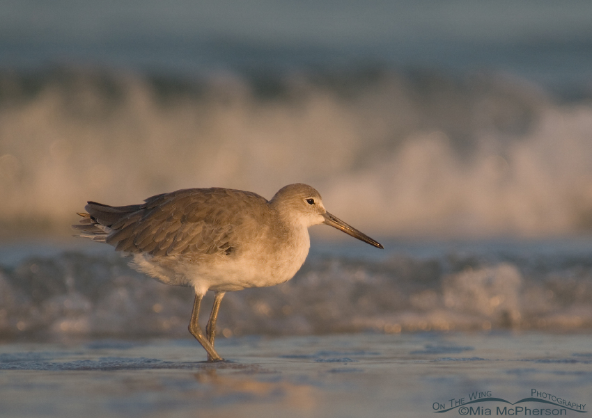 Willet in early morning light at Fort De Soto