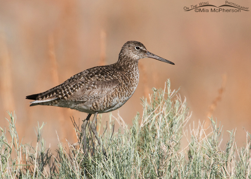 Western Willet in breeding plumage