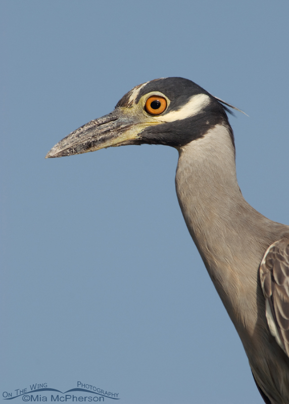 Yellow-crowned Night Heron portrait