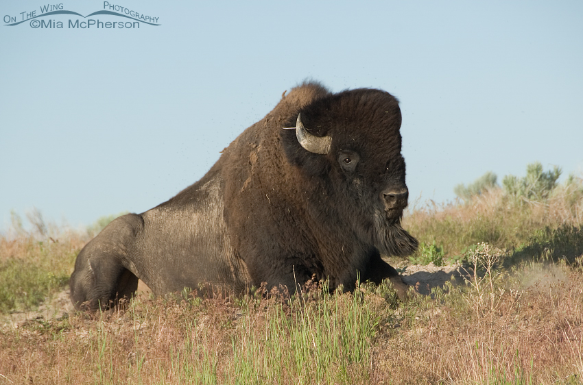 Bison Bull getting up