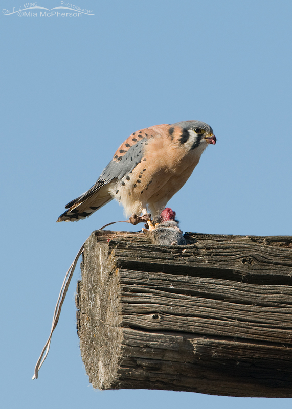 Male American Kestrel, escaped Falconry bird with jesses attached