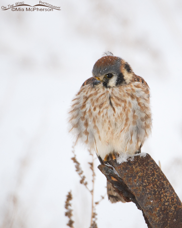Fluffed up female American Kestrel in low light