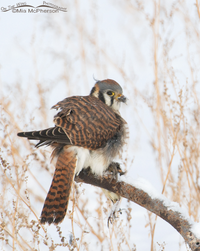 Female American kestrel with Pipit feathers on her bill