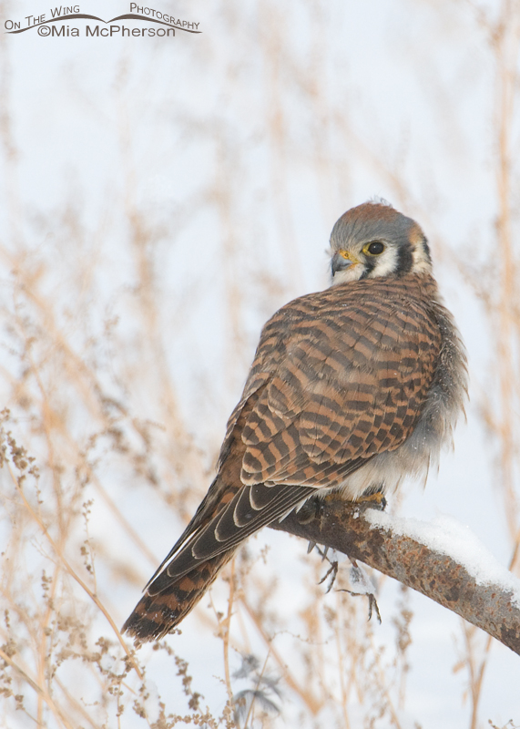 Female American kestrel and her prey