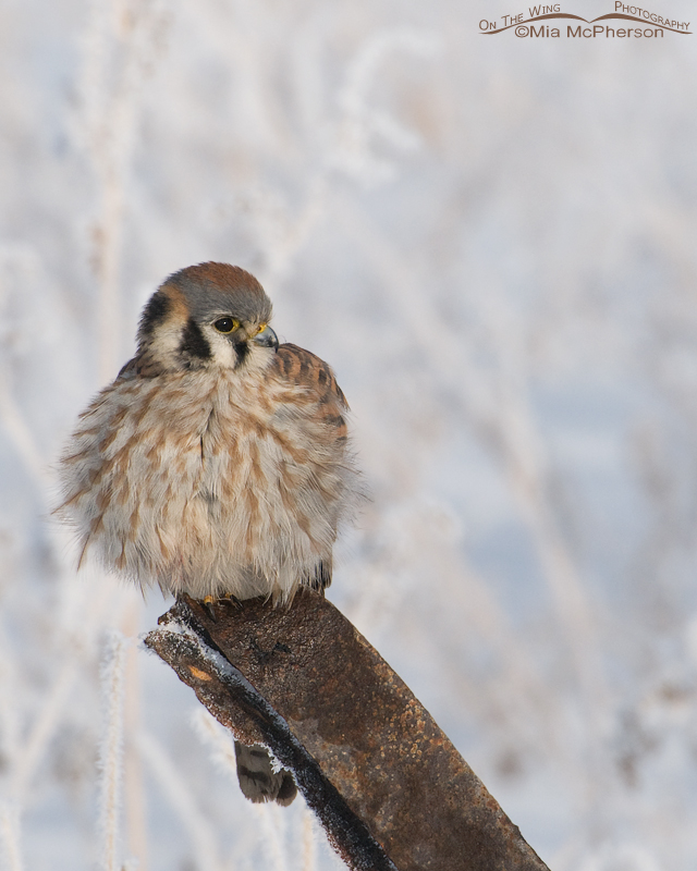 Perched female American Kestrel
