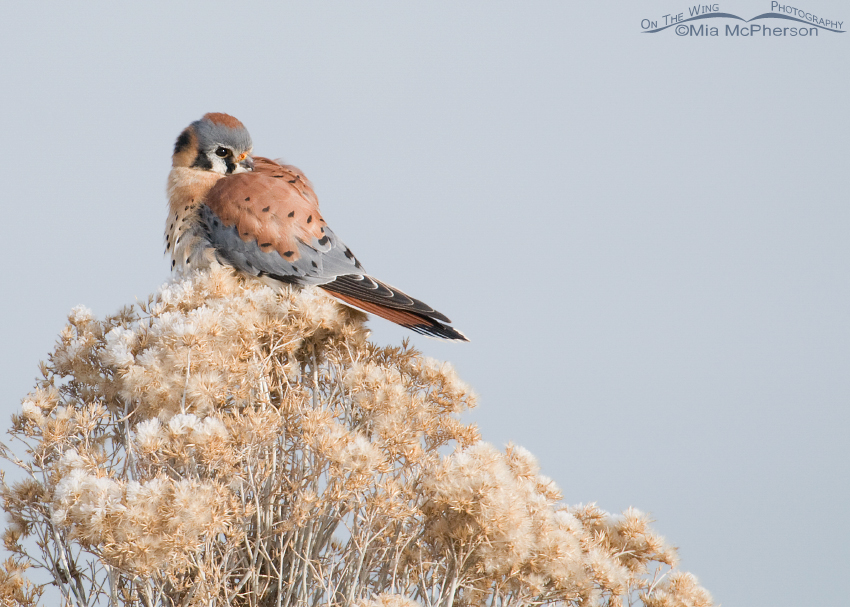 American Kestrel male on frosty Rabbitbrush