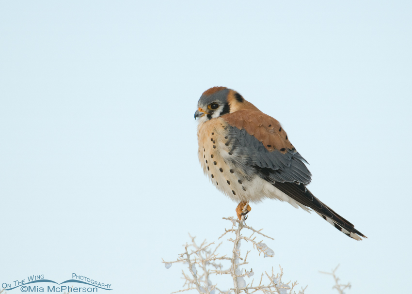 Male American Kestrel on Antelope Island after a snow