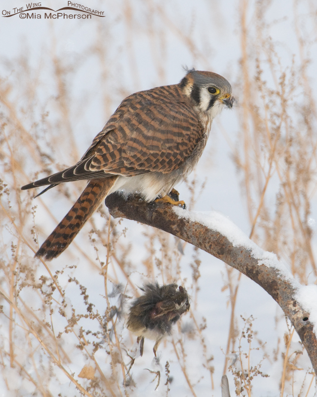 Female American Kestrel dropping her prey
