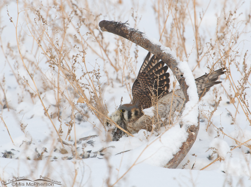 The American Kestrel retrieves her prey