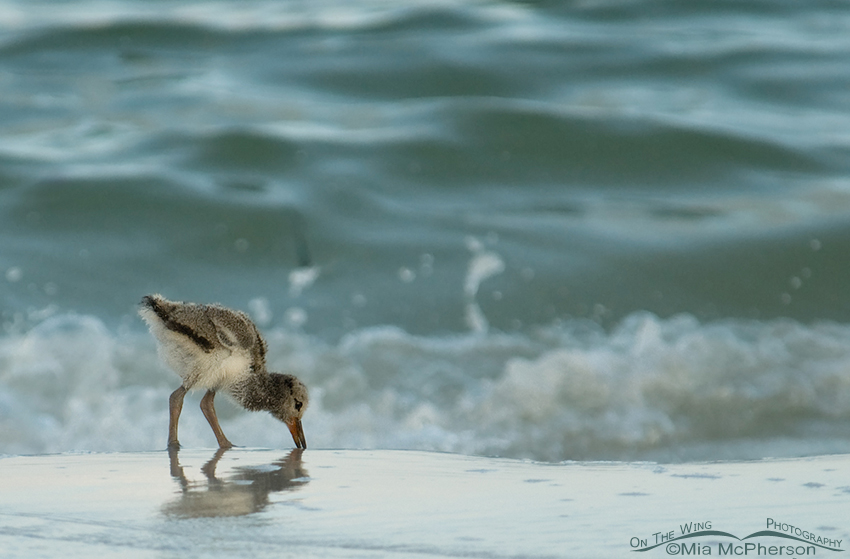 Eight day old American Oystercatcher chick in low light