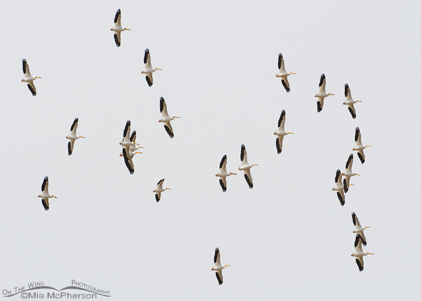 American White Pelicans soaring on a thermal over the Great Salt Lake