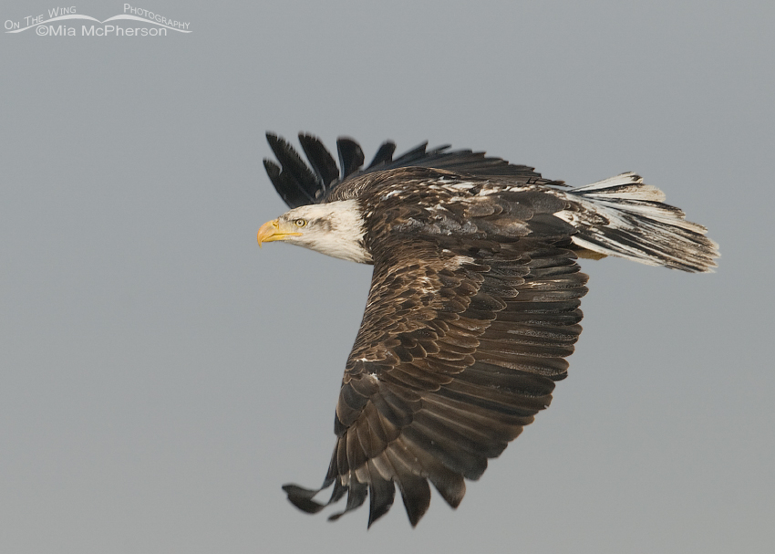 Four year old Bald eagle in flight