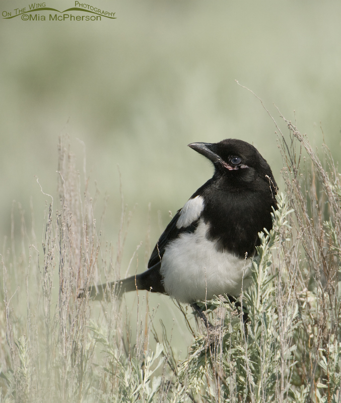 Black-billed Magpie juvenile
