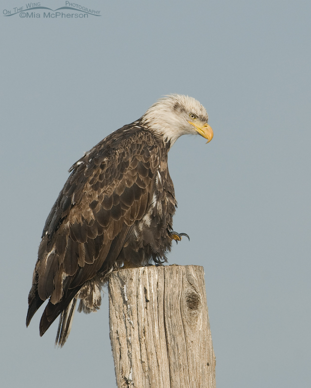 Four year old Bald Eagle about to fly