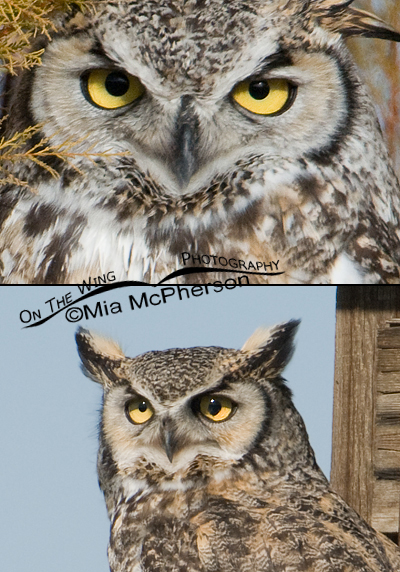 Great Horned Owl composite with blown eye