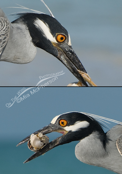 Yellow-crowned Night Heron composite with blown eye
