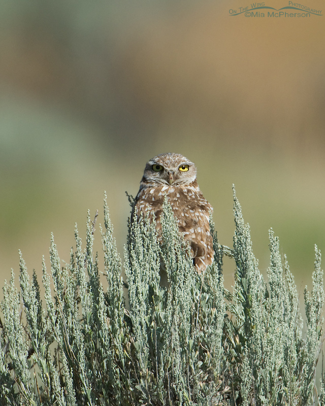 Lonely adult Burrowing Owl