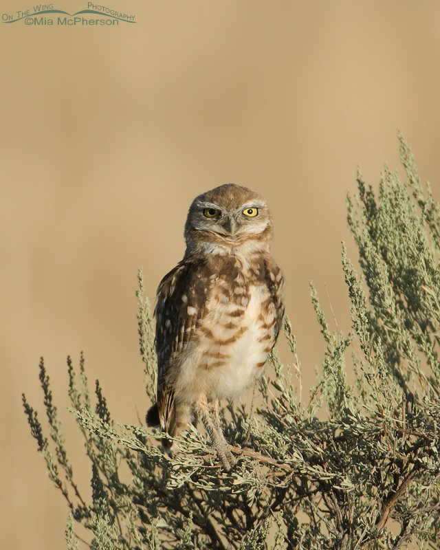 Burrowing Owl juvie in sagebrush