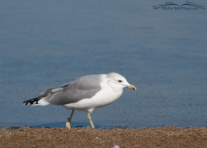 California Gull feeding on Brine Flies 1