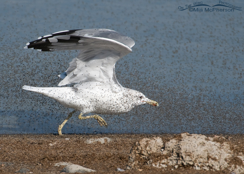 California Gull feeding on Brine Flies 3